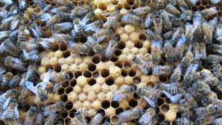 Queen bee Midge is no more