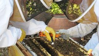 A little beekeeping accident