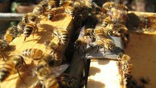Second summer honey harvest