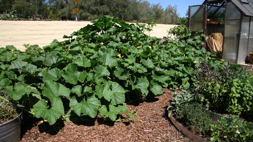 Winter squash harvest in the test garden