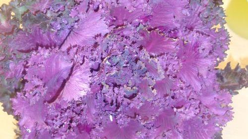 Edible ornamental kale