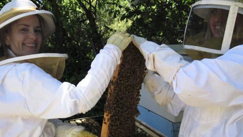 Swarming bees and piping queens