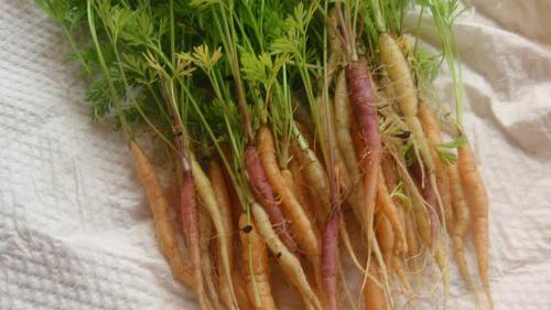 Baby carrots—cute enough to eat
