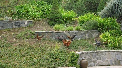 A Reader Speaks: Her Chickens Roam Free