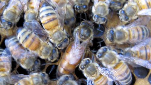 Meet Queen Honeybee Tess