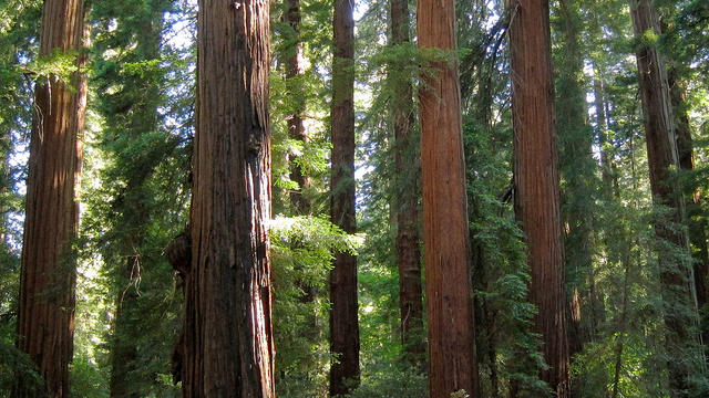 Richardson Grove State Park in Garberville, CA (photo by Flickr user Miguel Vieira)