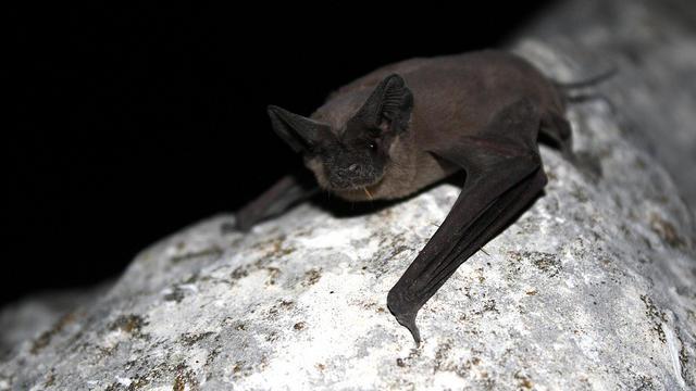 Mexican free-tailed bat (Tadaria braziliensis) (via USFWS/Ann Froschauer)