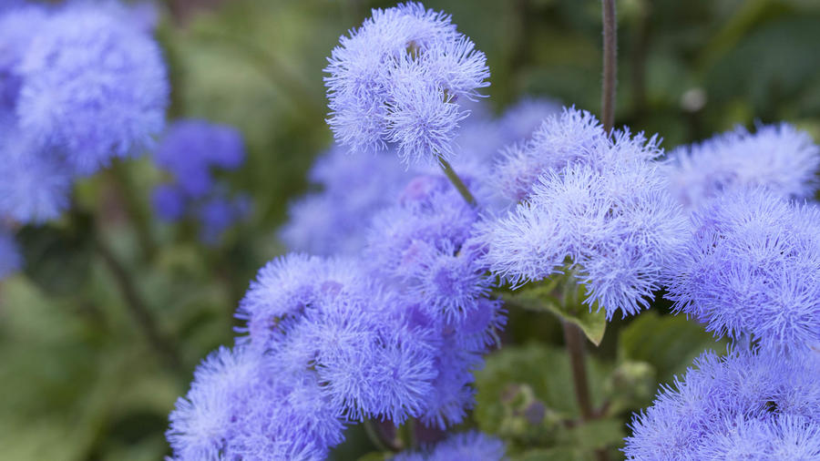 Ageratum_close up