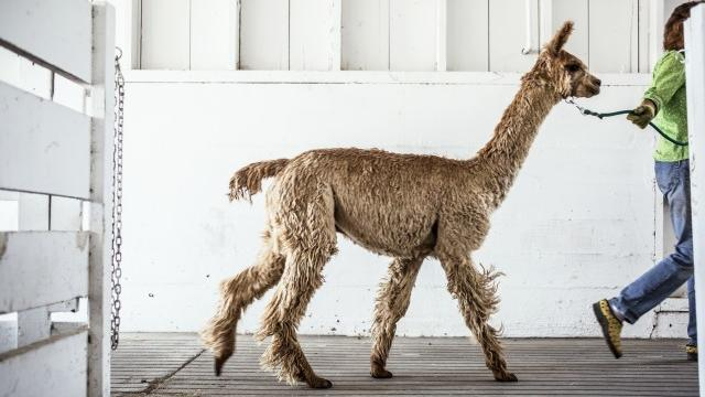 Meet an alpaca at the National Heirloom Expo. Photograph by Julie Ann Finemann.