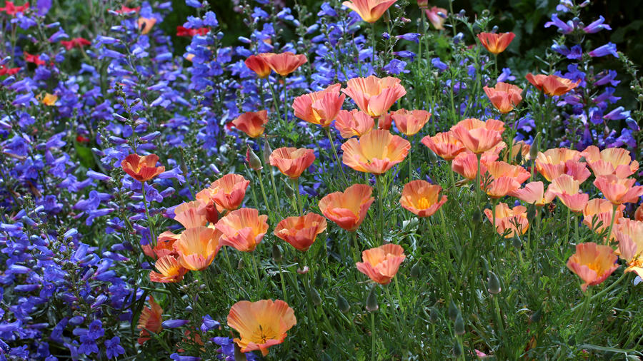 CA_natives_eschscholzia_apricot_chiffon_penstemon_blue_springs