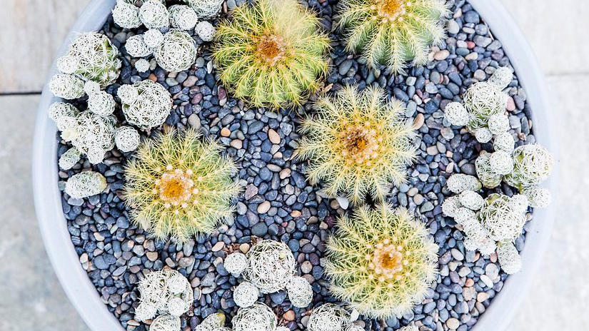 Cacti bowl