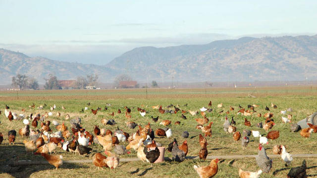 Chickens pecking on the pasture at Eatwell Farm, near Dixon, CA. Photo courtesy Eatwell Farm.