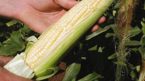 The sweetest corn