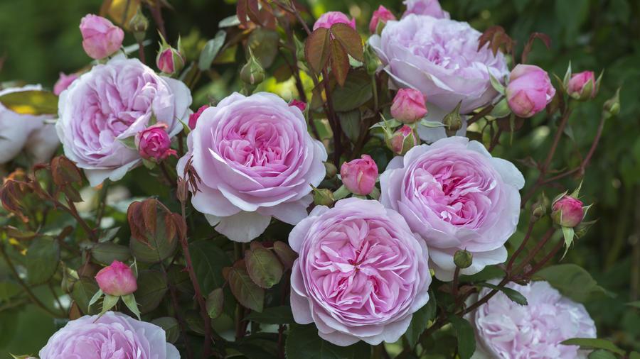 David Austin Roses Ltd.