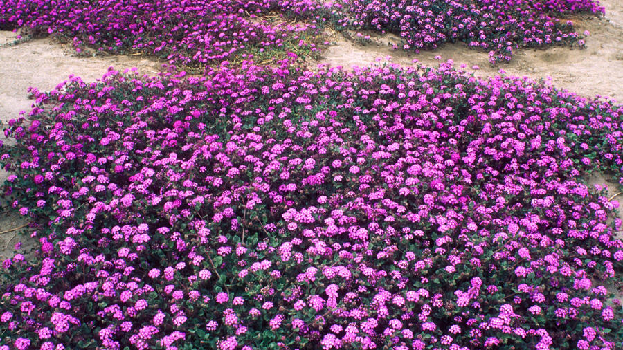 Sand verbenas in bloom at Anza-Borrego Desert State Park. (Photo by George Ostertag/Age Fotostock/Alamy)
