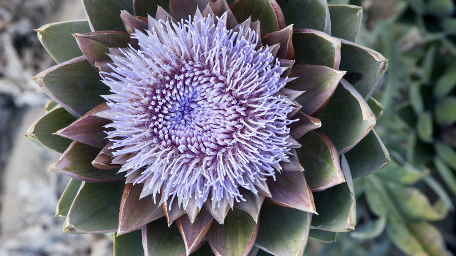 What\u0027s even better than an artichoke? Its gorgeous flower