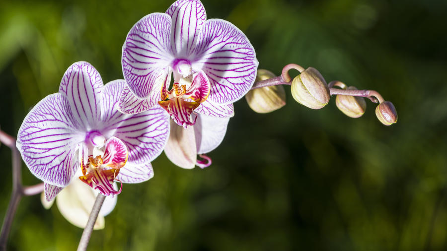 The white and purple blossom of a moth orchid. (Photo by Frank Bienewald/LightRocket via Getty Images)