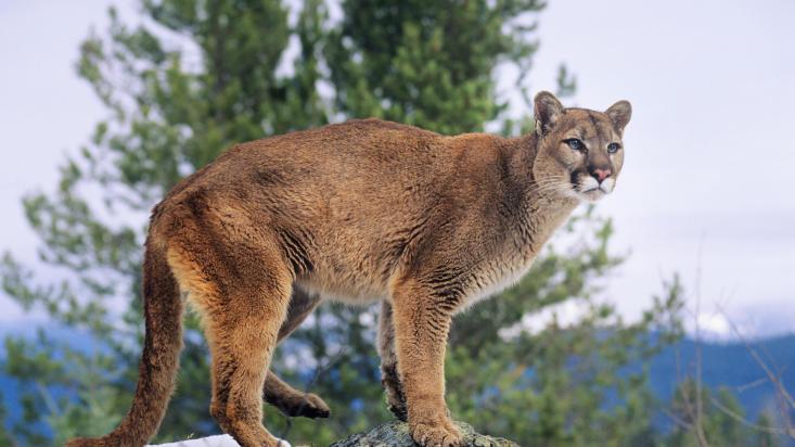 Mountain Lion (IPGGutenbergUKLtd / Getty Images)
