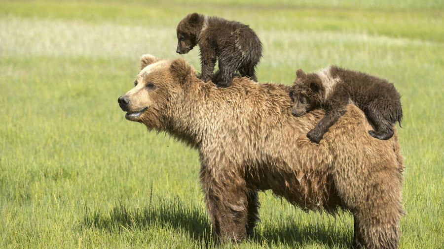 Grizzly bear cubs hitch a ride with mom in Alaska. (Photo by Daisy Gilardini.)
