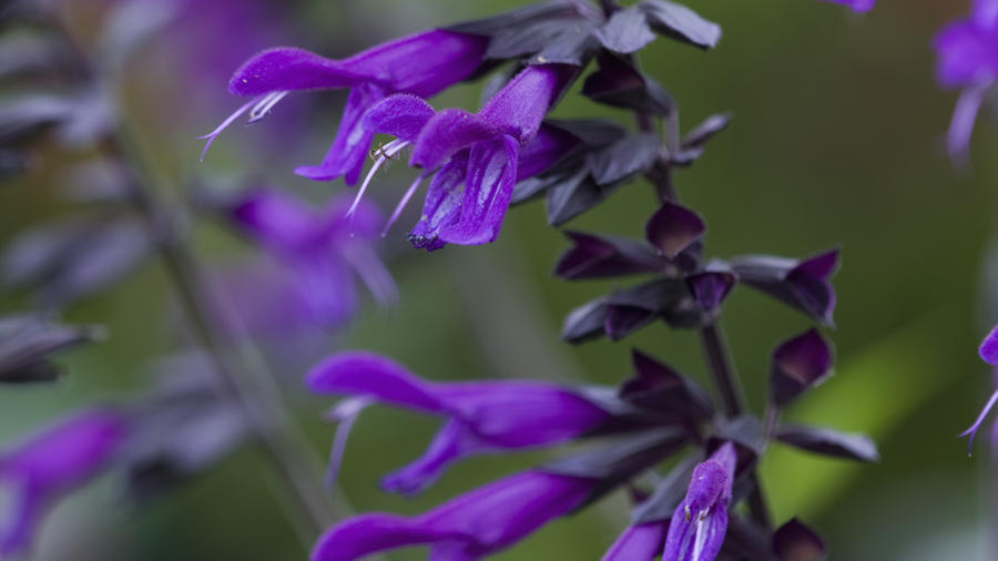 Sunset Western Garden Collection I Get D Sunsunset31 Amistad Salvia Clive Nichols Getty Images