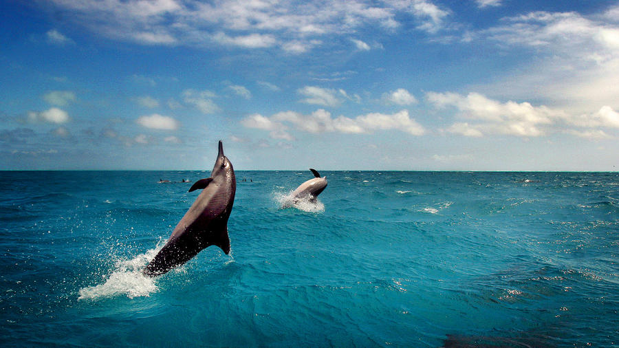 Spinner dolphin ply the waters around at Midway Atoll where they feed in the shallows. Marine mammals are at times caught in ghost netting that is found in the area. (Photo by Rick Loomis/Los Angeles Times via Getty Images)