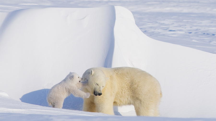 Polar bear sow and cub newly emerged from their den in springtime along the Arctic Coast of Alaska