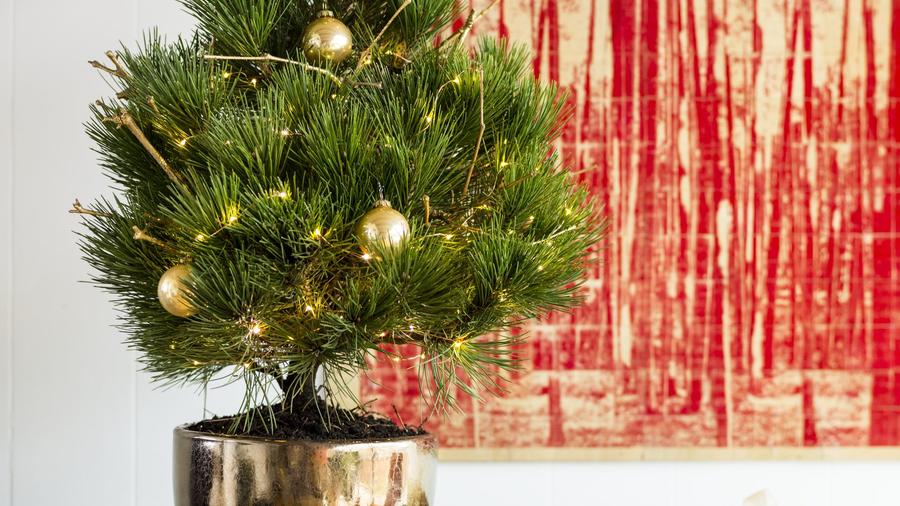 Living Christmas Tree.How To Care For A Living Christmas Tree Sunset Magazine