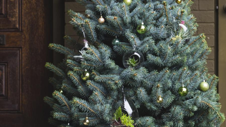 How To Care For A Living Christmas Tree Sunset Magazine