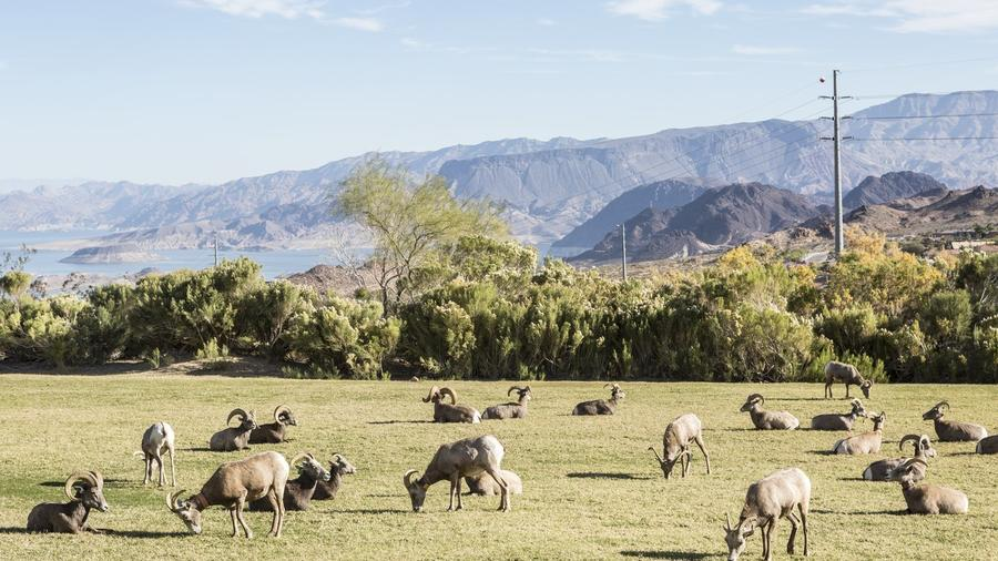 Hemenway Valley Park draws herds of up to 100 bighorn sheep. (Photo by Lisa Corson)