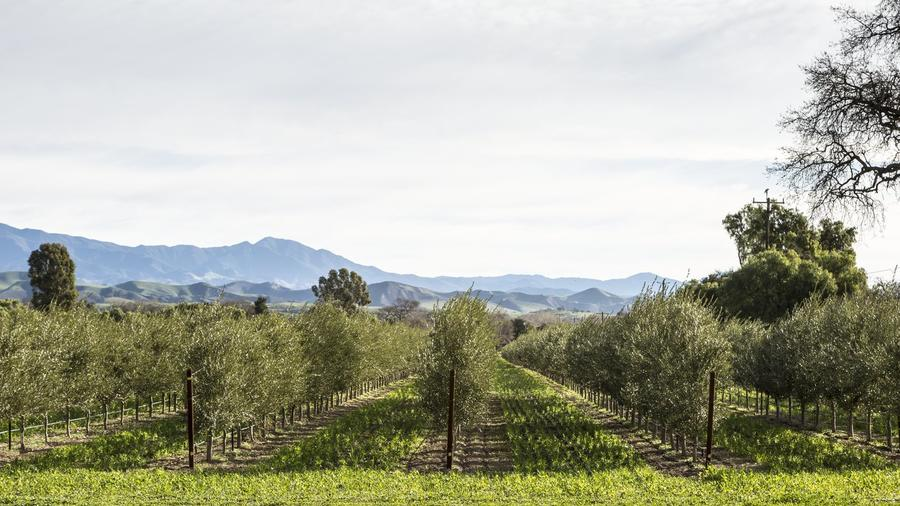 The Santa Ynez Valley town of Los Olivos is lined with olive groves, tasting rooms, and boutiques. (Photos by Lisa Corson.)