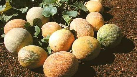 Melons, melons, and more melons!