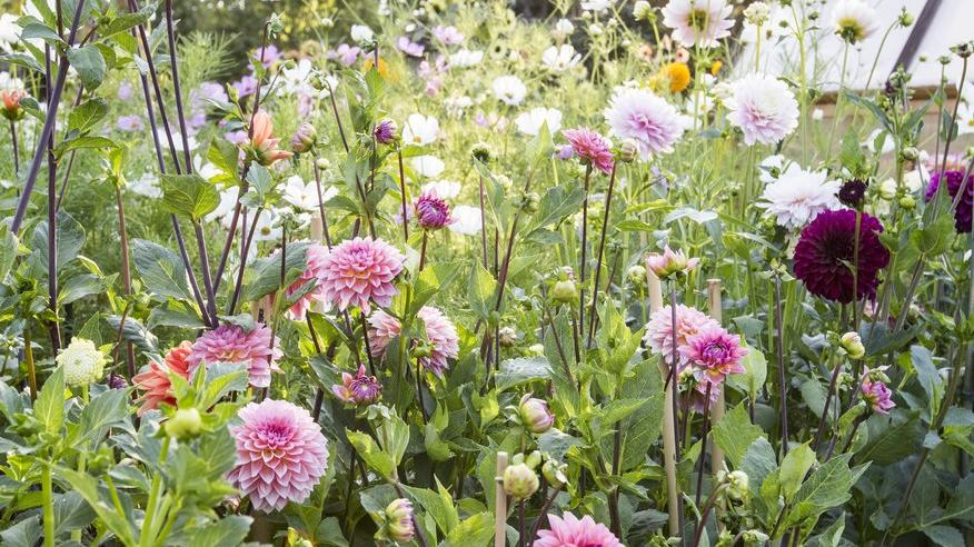 Cut flowers_dahlia bed