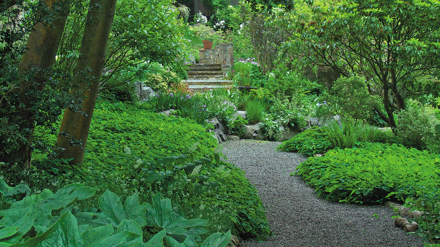 The view along the gravel path, from shade to light, at the magnificent Elisabeth C. Miller Botanical Garden in Seattle. In the foreground is a lush Chinese mayapple (Podophyllum versipelle). Credit: © 2015 Ken Druse