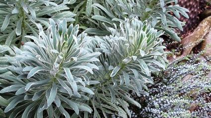 Planting Ideas: Frosty Blue Froth