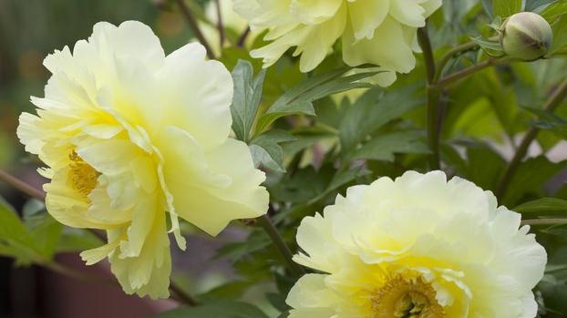Bartzella Itoh Peony; Paeonia x 'Bartzella'; yellow peony flower