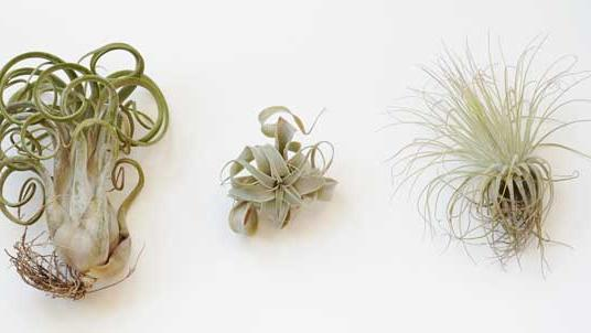 Care for Air Plants: 6 Tricks to Keep Them Alive - Sunset