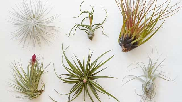 Clockwise from top left: Tillandsia textorum, T. bulbosa, T. tricolor, T. stricta, T. velutina, T. gardeneri (Caitlin Atkinson)