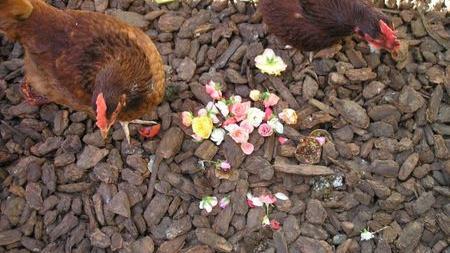 What a Chicken Won't Eat