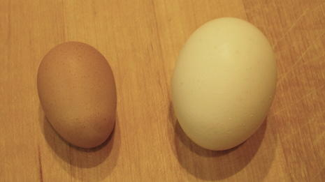 The runt's first egg