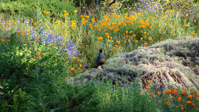 California quail perched on top of Artemisia Canyon Gray (photo provided by Santa Barbara Botanic Garden)