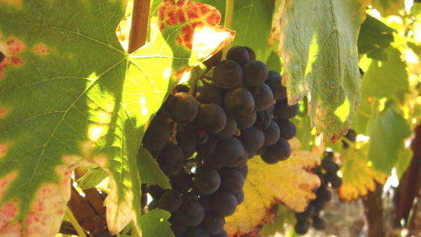 Crushing news: Wine grapes are ready for harvest in Northern California
