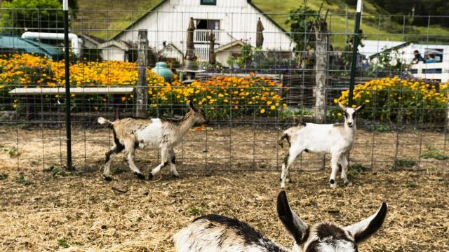 Baby goats at Harley Farms in Pescadero, CA.