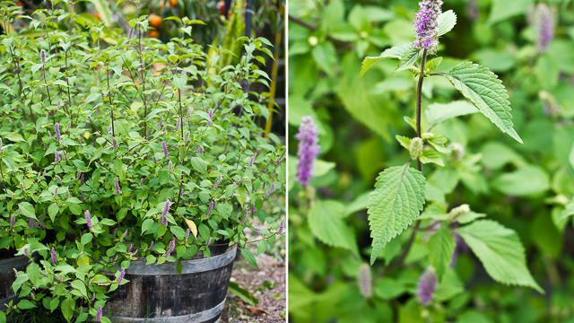 5 Delicious Vietnamese Herbs to Grow and Eat