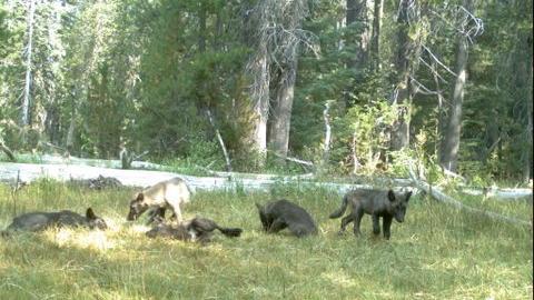 wolf-pups-jpg-1