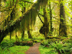 a rich spectrum of greens in Olympic National Park's Hoh Rain Forest.