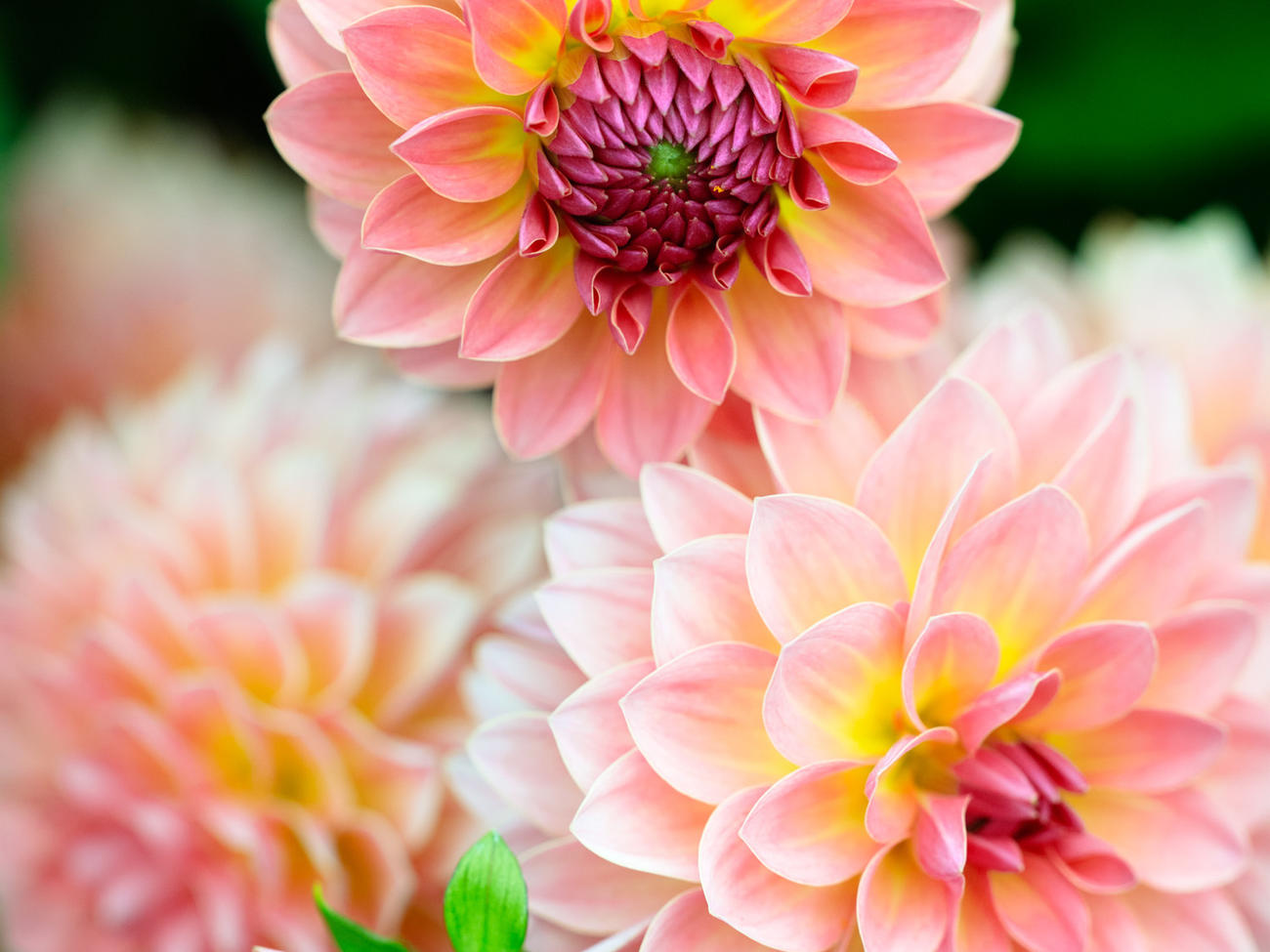 How to Pinch Dahlias