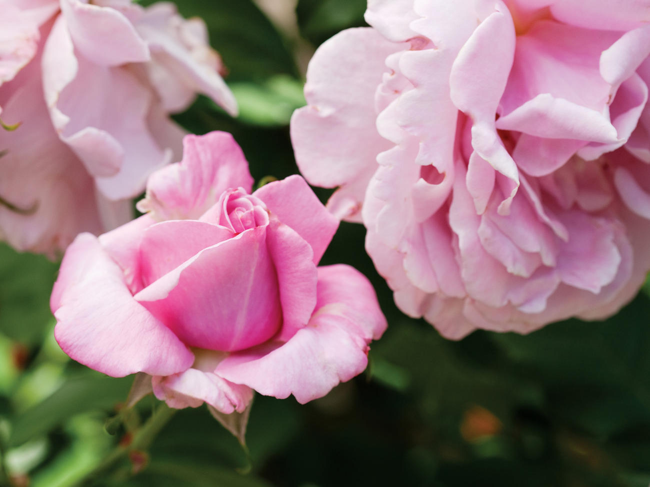 17 Favorite Roses to Grow