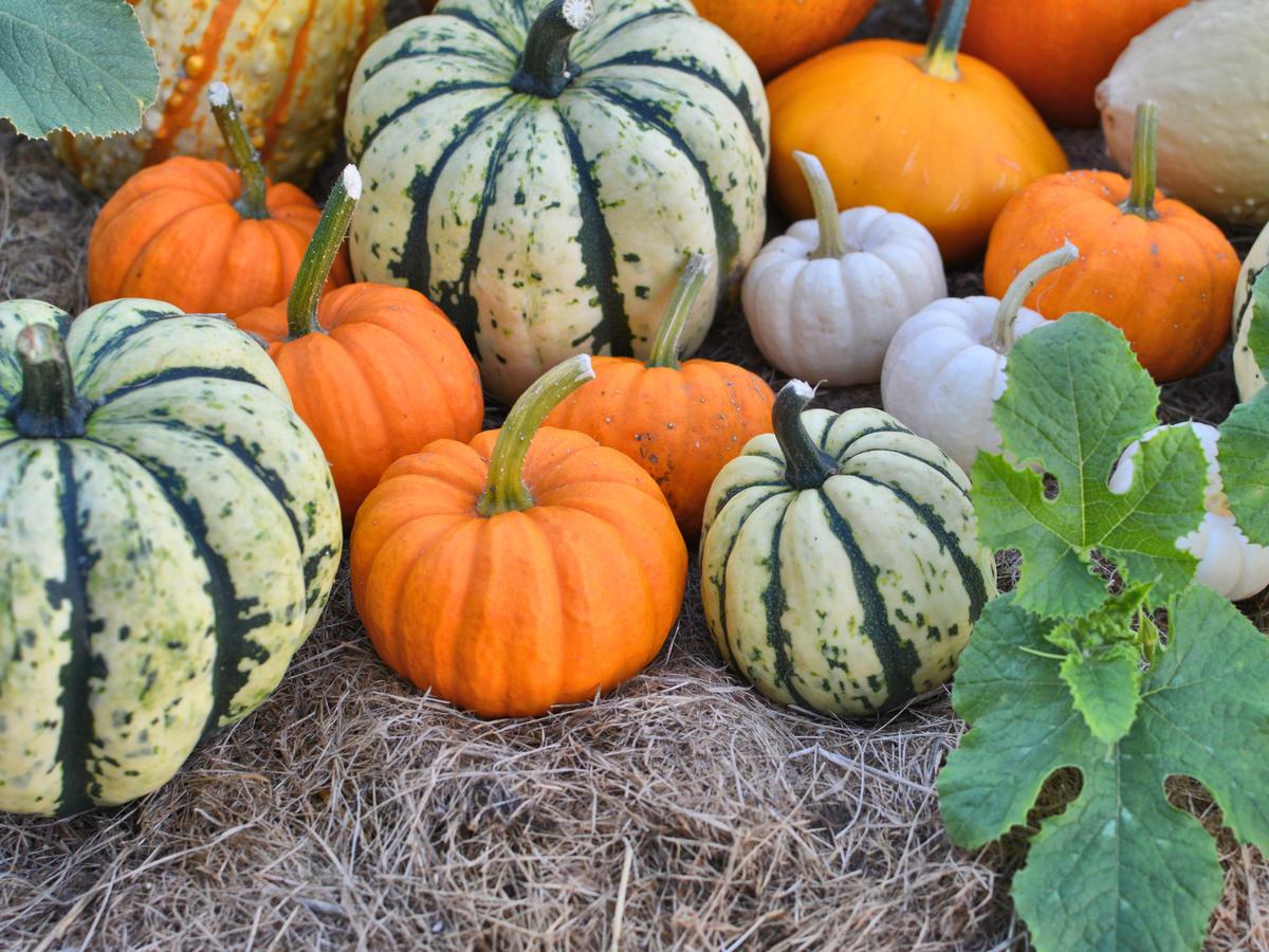 How to grow pumpkins sunset magazine for Best pumpkins to grow