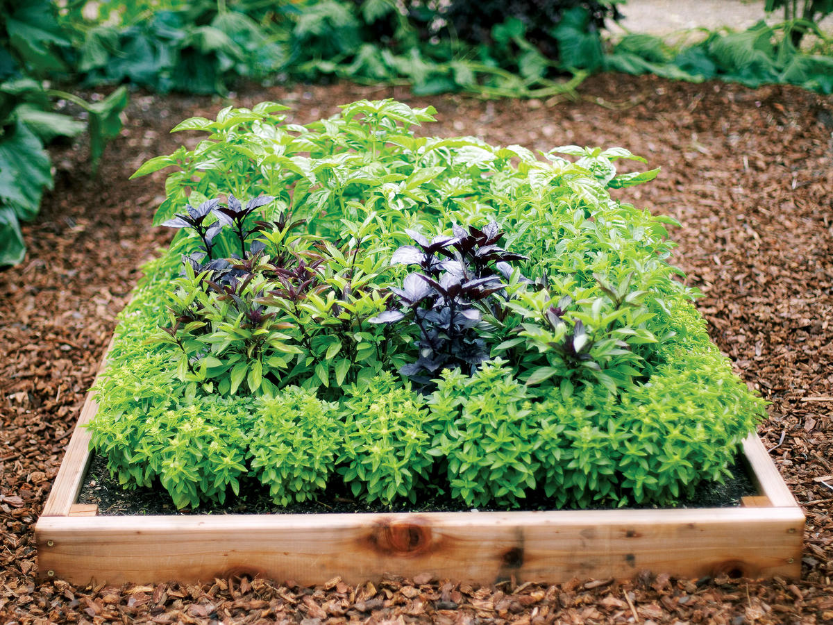 How To Grow A Bounty Of Basil