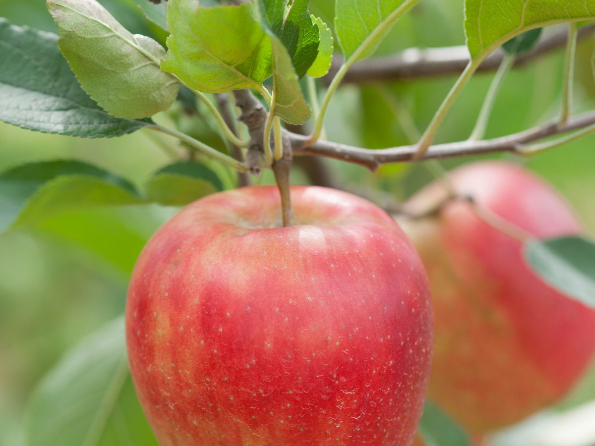 Planting and caring for fruit trees sunset magazine sunset apple buycottarizona